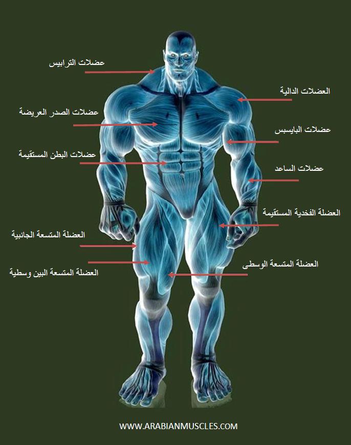 الهيكلية في رياضة بناء الأجسام